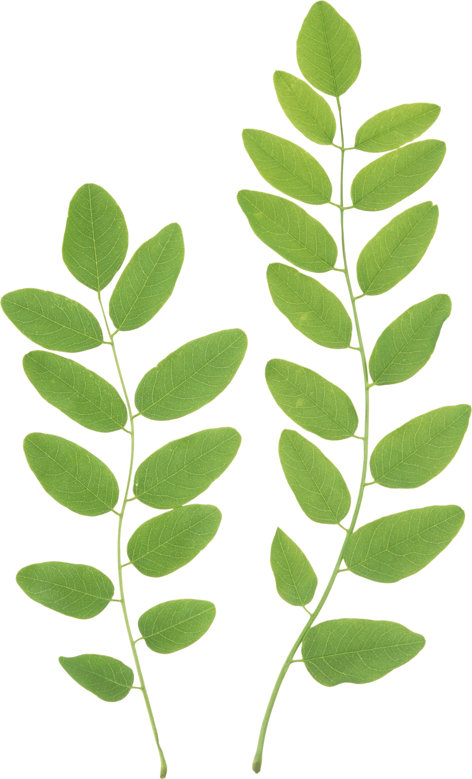 Green Leaves PNG Clipart - Leaves PNG