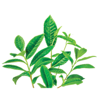Green Tea Png Image PNG Image - Green Tea PNG