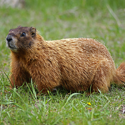 groundhog - Groundhog Images PNG HD