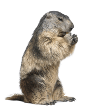 Pest Control for Groundhogs in NJ - Groundhog Images PNG HD