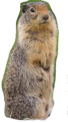 Beaver PNG - Groundhog PNG HD
