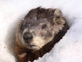 Groundhog u201c - Groundhog PNG HD