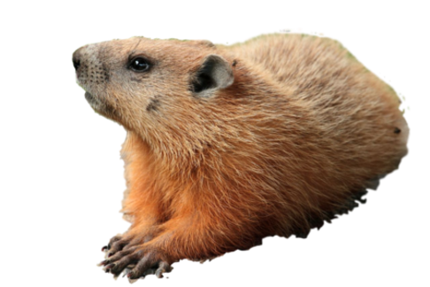 groundhog Capture and Relocation - Groundhog PNG HD