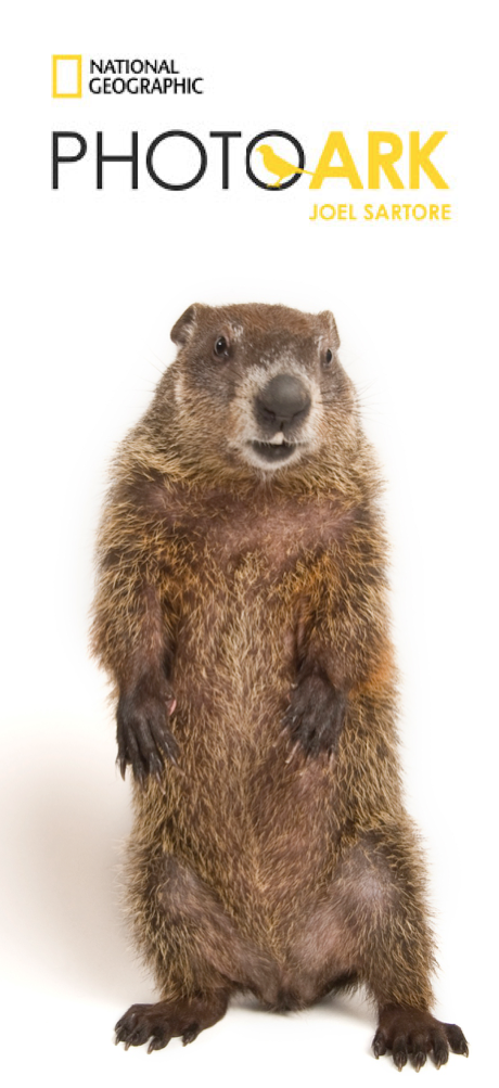 Groundhog Day 2017 Celebrated With a Portrait From the National Geographic  Photo Ark u2013 National Geographic Blog - Groundhog PNG HD