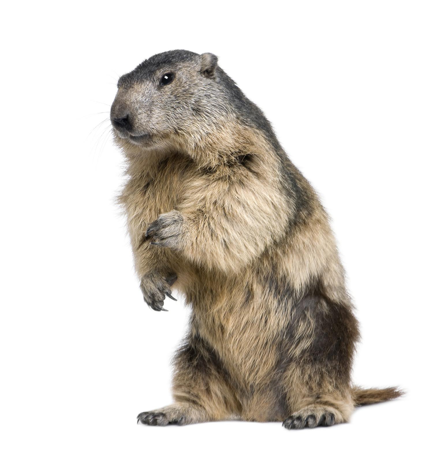groundhog standing up - Groundhog PNG HD