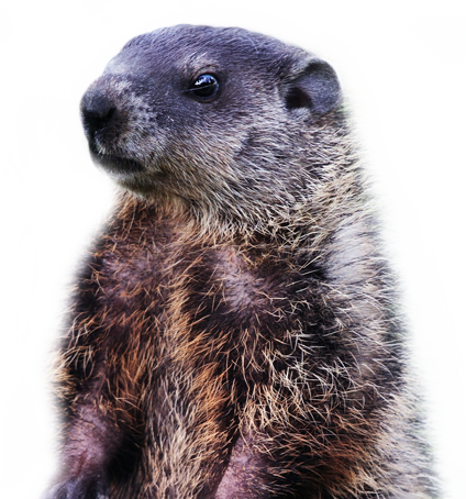 groundhog2.png - Groundhog PNG HD
