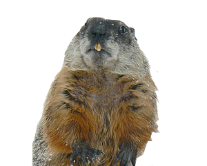 We Have an Animal Repellent for Your Pests Problems! - Groundhog PNG HD