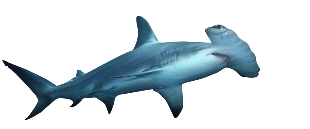 Hammerhead Shark PNG HD - 127811