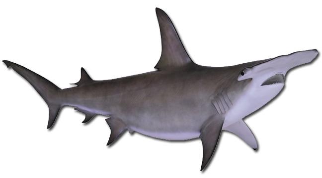 Hammerhead Shark PNG HD - 127825