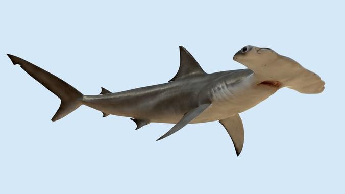 Hammerhead Shark PNG HD - 127822