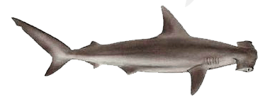 Hammerhead Shark PNG HD Transparent Hammerhead Shark HD ...