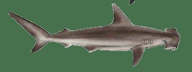 Hammerhead Shark PNG HD - 127826
