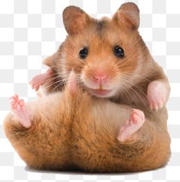 Hamster PNG HD - 125462