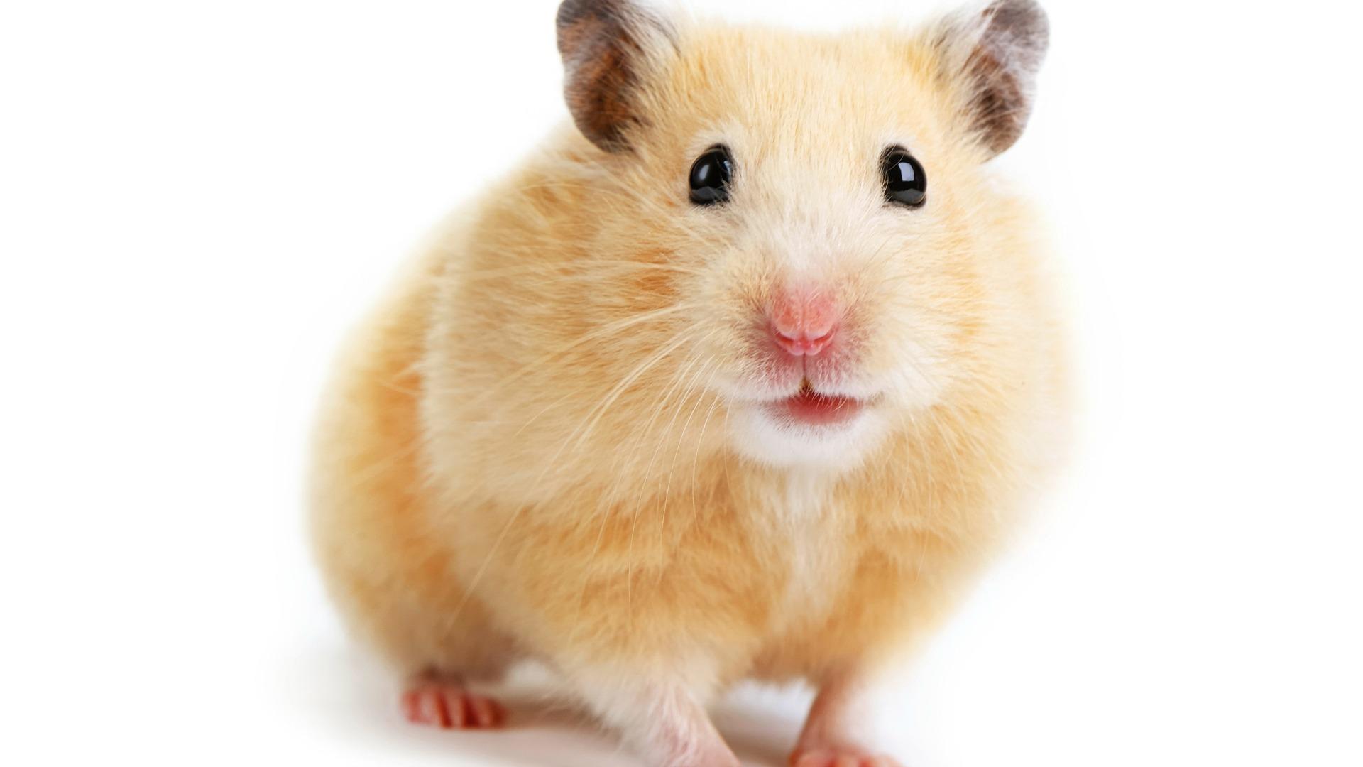 Hamster PNG HD - 125457