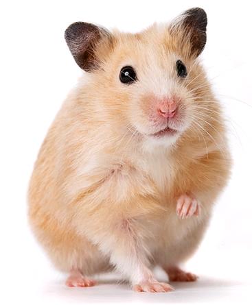 Výsledek obrázku pro hamster png