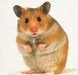 Hamster PNG HD - 125459