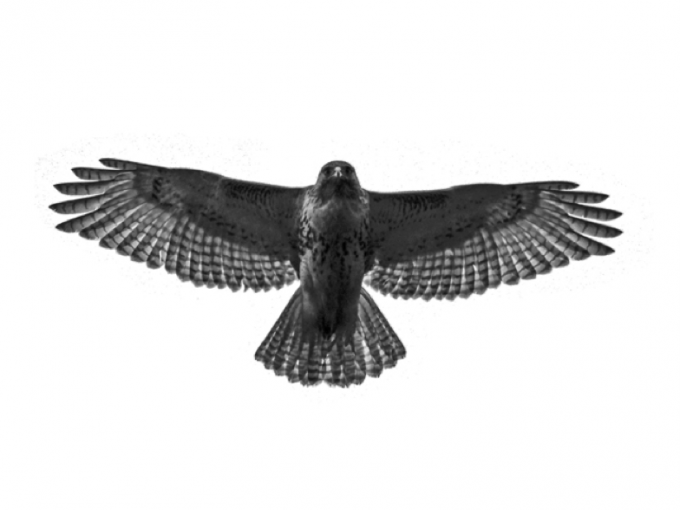 Red-tailed Hawk - Hawk PNG Black And White