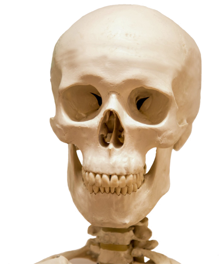 skeleton head png transparent skeleton head png images pluspng