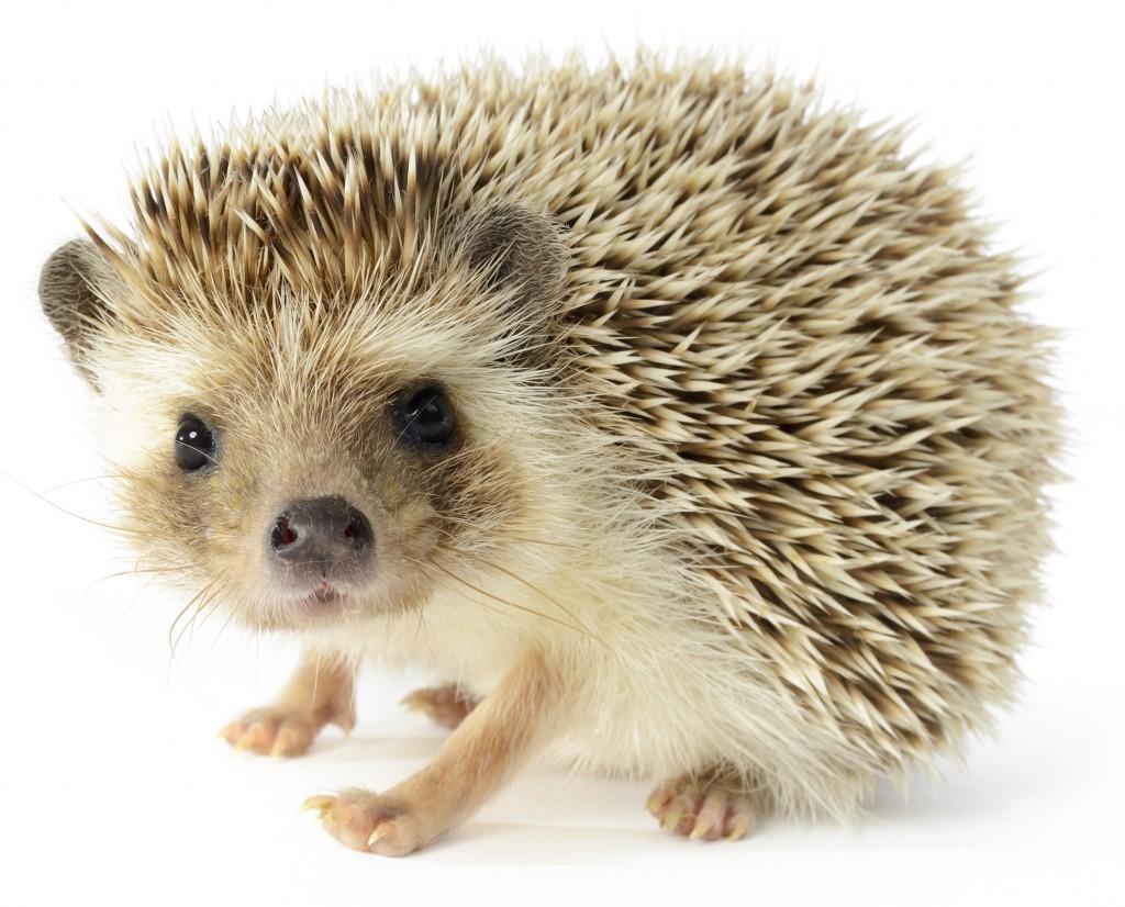 Hedgehog PNG HD