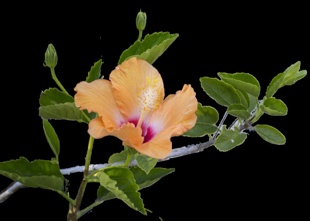 Hibiscus Leaf PNG-PlusPNG.com-1024 - Hibiscus Leaf PNG