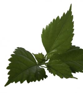 EcoBeauty_HibiscusLeaf - Hibiscus Leaf PNG