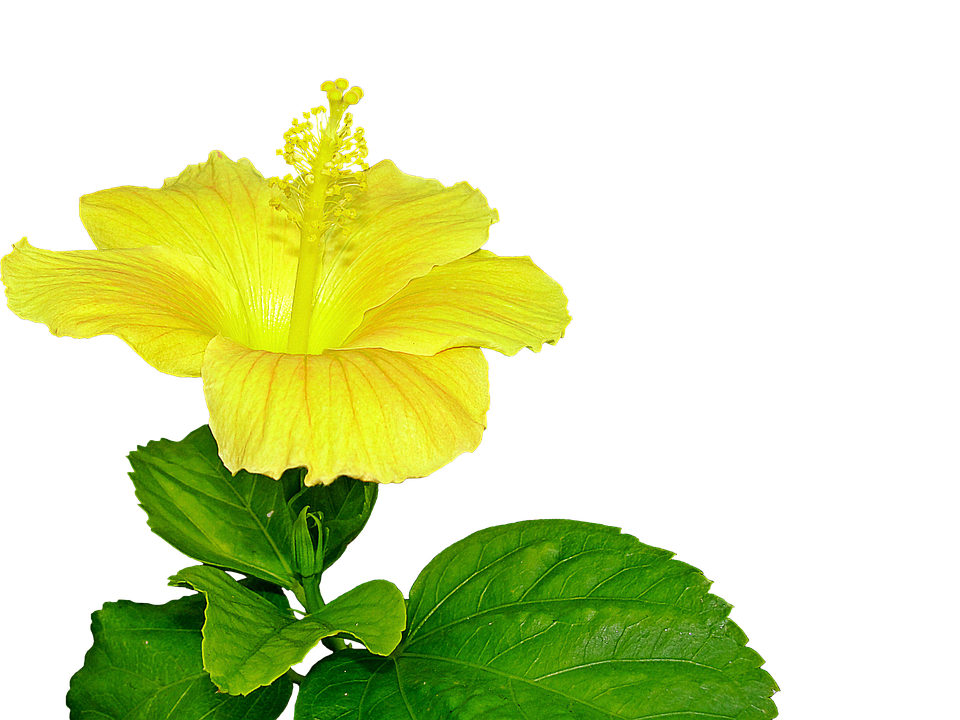 Yellow Hibiscus, Flower, Pistil, Plant - Hibiscus Leaf PNG