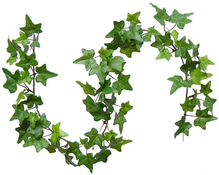 Banging the Drum: The Holly and the Ivy - and Mistletoe too. - Holly And Ivy PNG