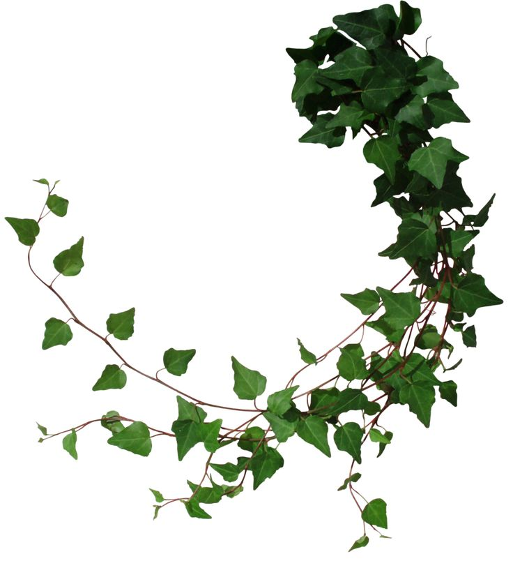 Ivy 2 by Black-B-o-x - Holly And Ivy PNG
