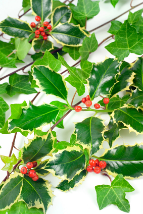 The history of Christmas holly and ivy - Holly And Ivy PNG