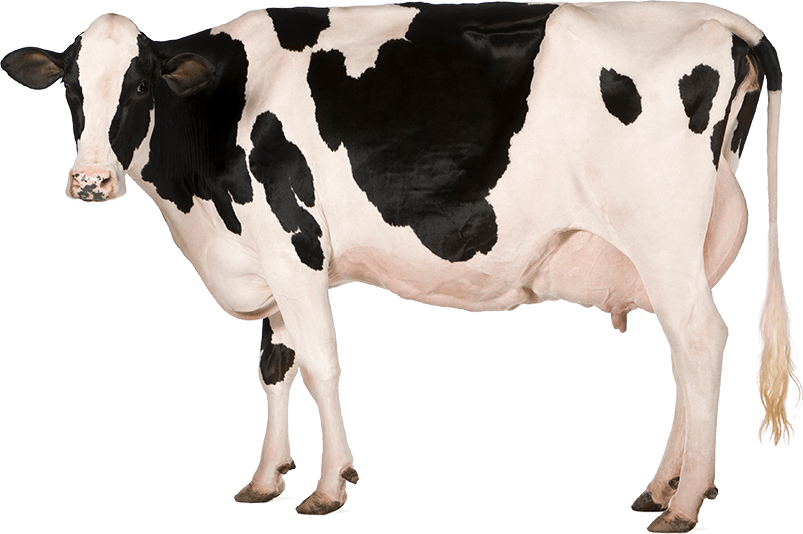 Holstein Cow PNG HD - 130995