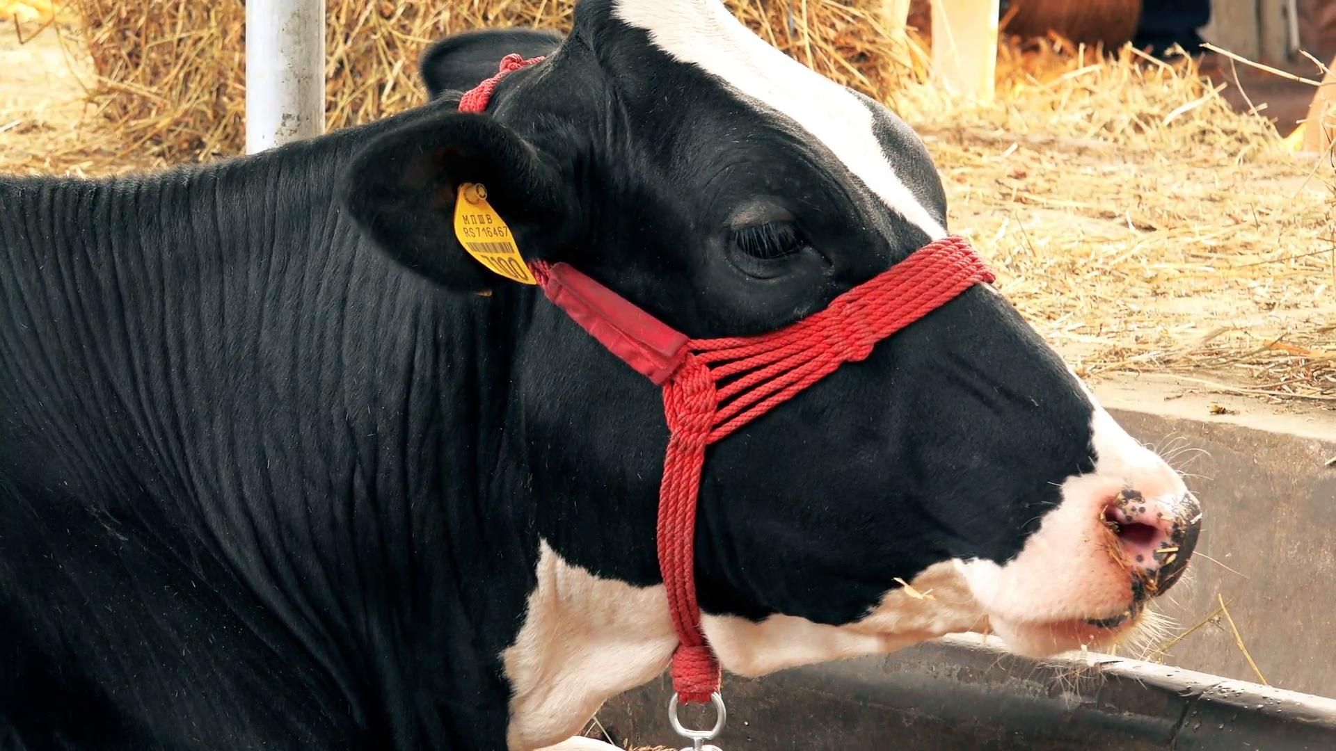 Holstein Cow PNG HD - 131001