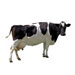 Holstein Cow PNG HD - 130999