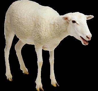 Sheep PNG - 6538