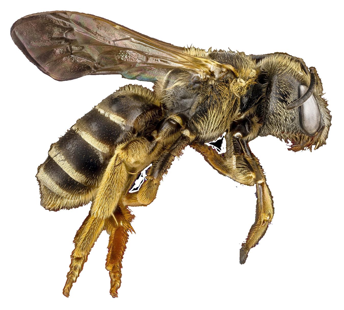 Honey Bee PNG HD - 129280