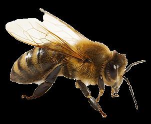 Honey Bee PNG HD - 129266