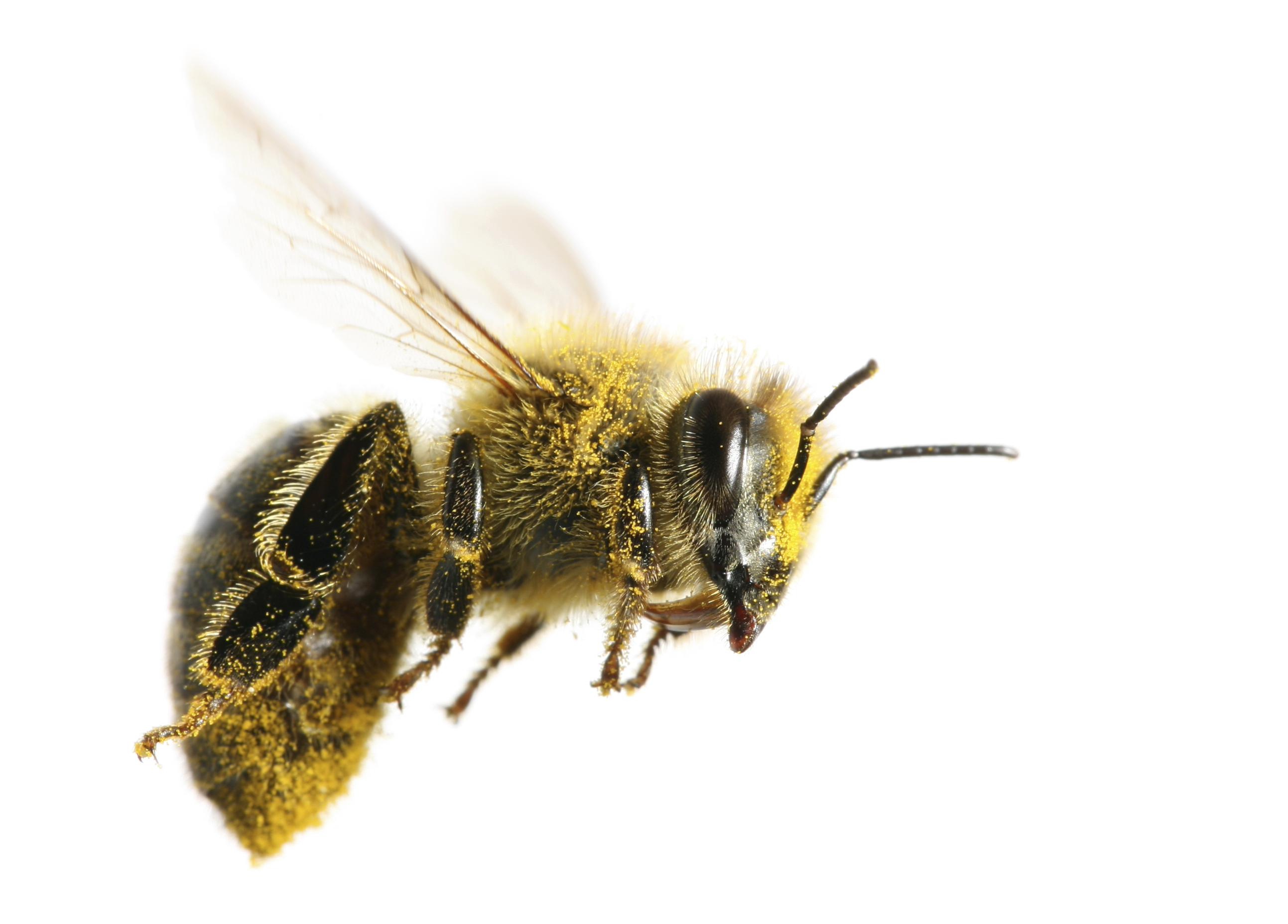 Honey Bee PNG HD - 129278
