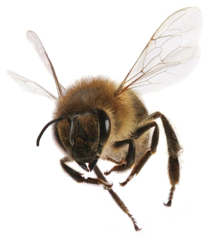 Honey Bee PNG HD - 129274