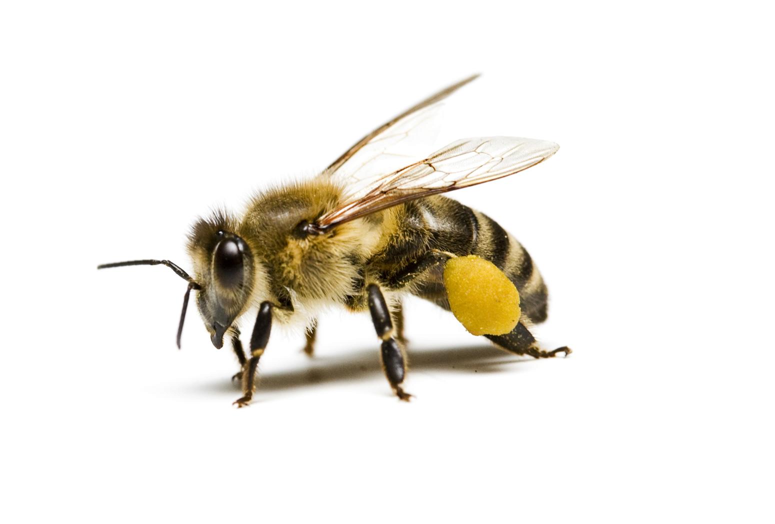 Honey Bee PNG HD - 129273