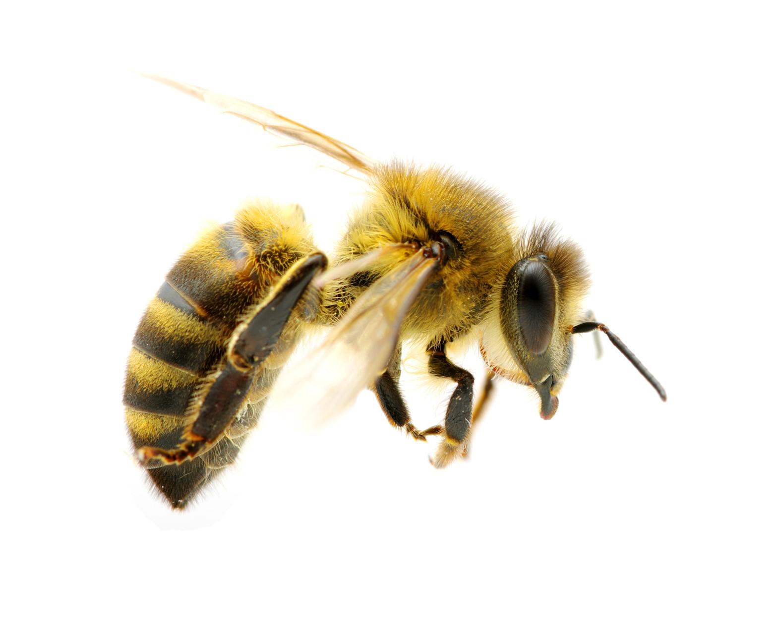 Honey Bee PNG HD - 129270