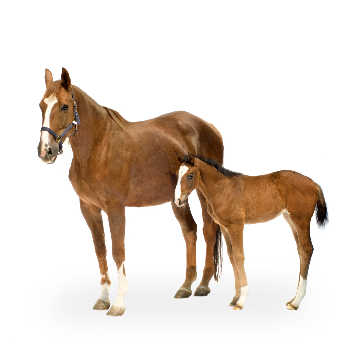 cocker1.png - Horse And Foal PNG