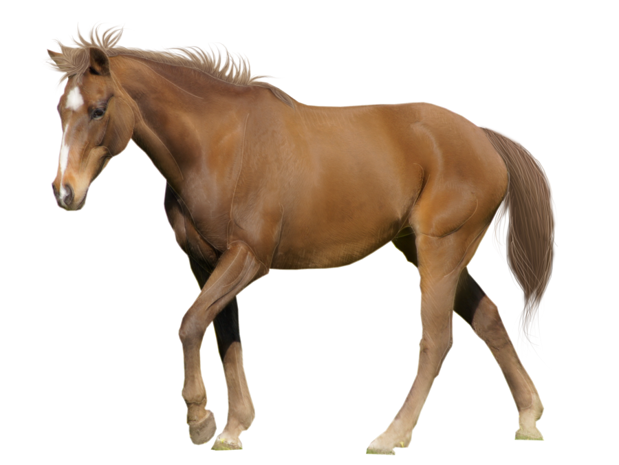 HD Quality Wallpaper   Collection: Fantasy, 900x676 Horse - Horse HD PNG
