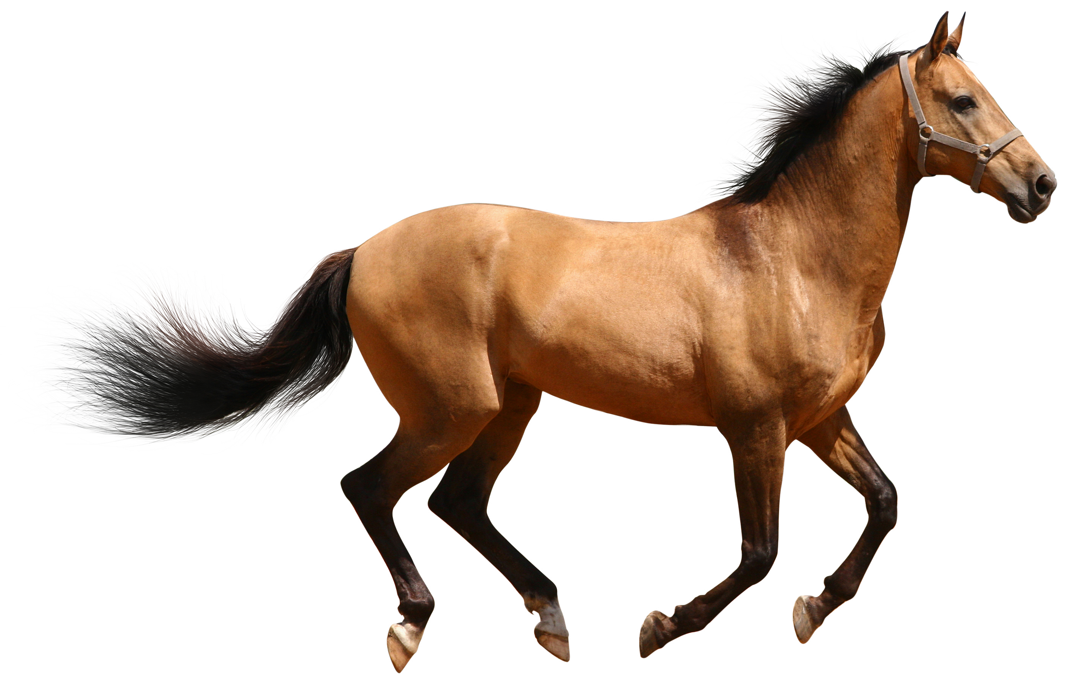 Horse Png Image #22544 - Horse PNG - Horse HD PNG