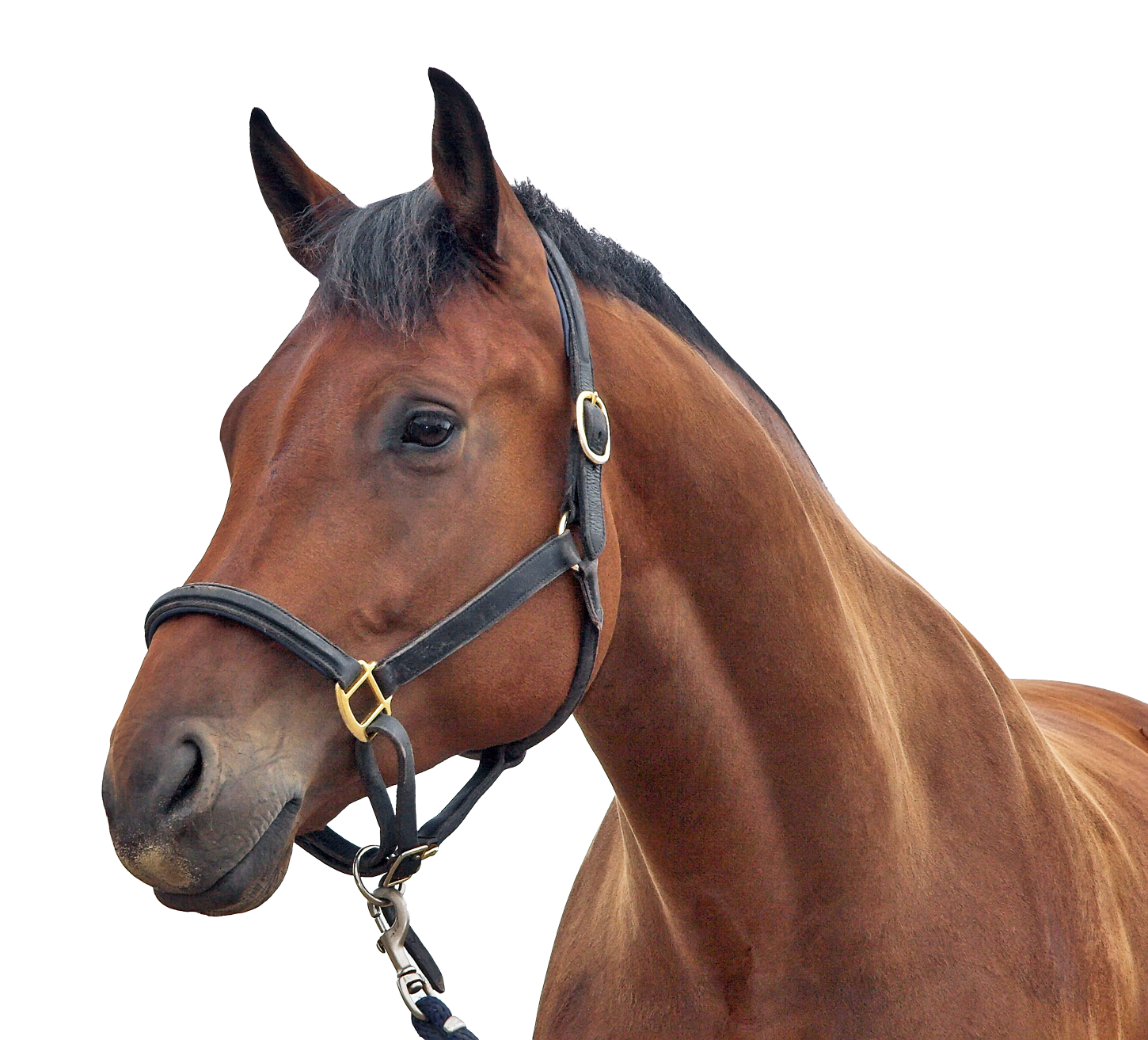 Horse Transparent PNG Image - Horse PNG