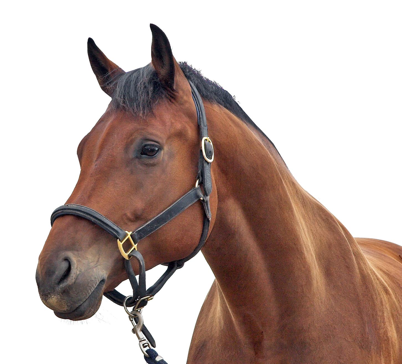 Horse Transparent PNG Image - Horse PNG