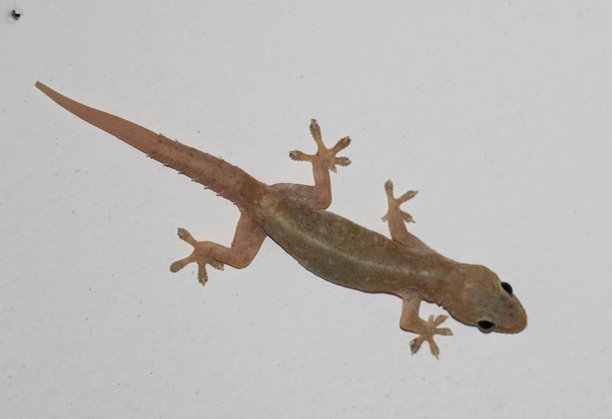 House Lizard PNG - 45575