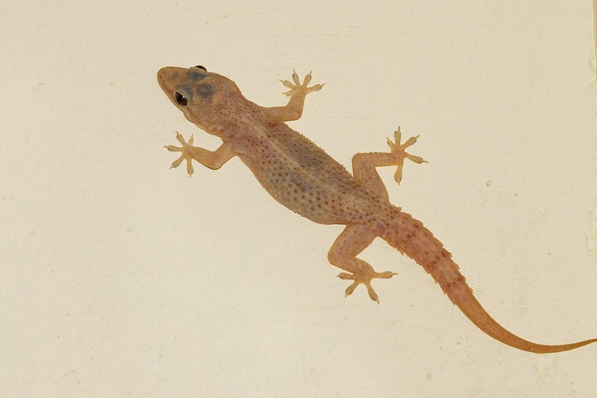 House Lizard PNG - 45579