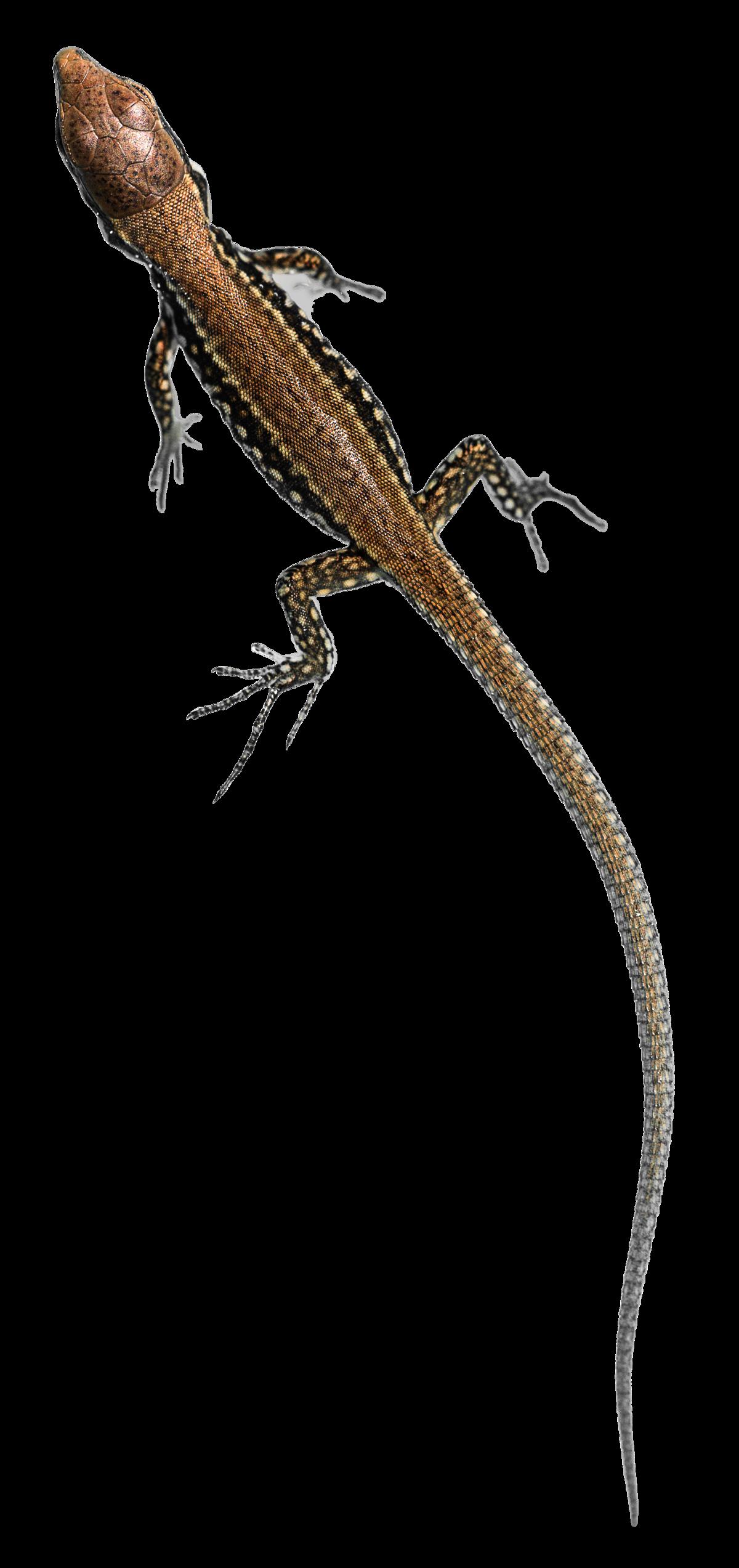 House Lizard PNG - 45577