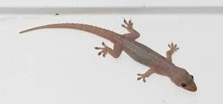 House Lizard PNG - 45571