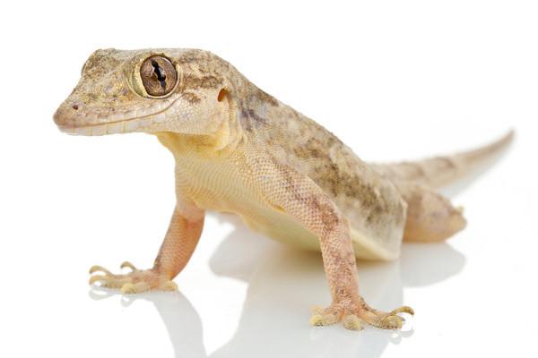 House Lizard PNG - 45572