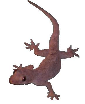 House Lizard PNG - 45573